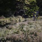 Heads Pond -Hooksett NH - Great Blue Heron 09212019 26