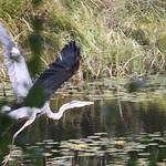Heads Pond -Hooksett NH - Great Blue Heron 09212019 37