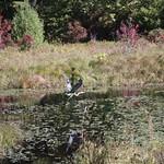 Heads Pond -Hooksett NH - Great Blue Heron 09212019 36