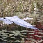 Heads Pond -Hooksett NH - Great Blue Heron 09212019 40