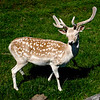 A Fallow Deer, I'd never seen one in real life before this