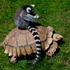 Lemur on his living chariot