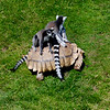 This is the ring-tailed lemurs mode of transport, a giant tortoise