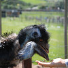 Feeding the Emus