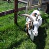 I'm sure it 's a goat now