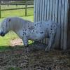 The Falabella Horse