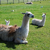 Llama with her two youngsters