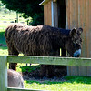 This is a Poitou donkey, the hairiest donkey I've ever clapped eyes on