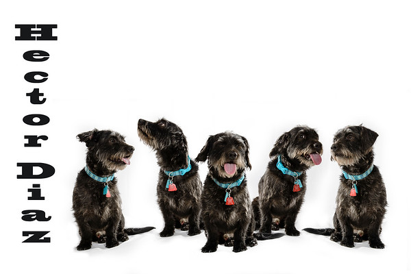 5 Dogs Sitting