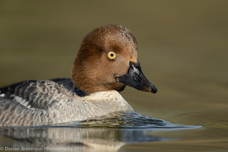 Common Goldeneye - female
