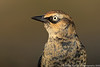 Rusty Blackbird (2 in collection of 8)