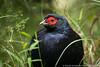 Mikado Pheasant (Taiwan endemic)