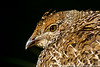 Sooty Grouse chick/yearling