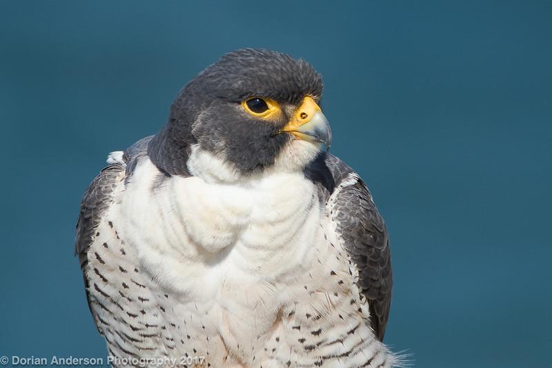 Peregrine Falcon (male)