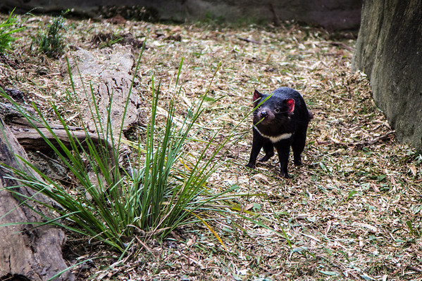 Young Tasmanian devil