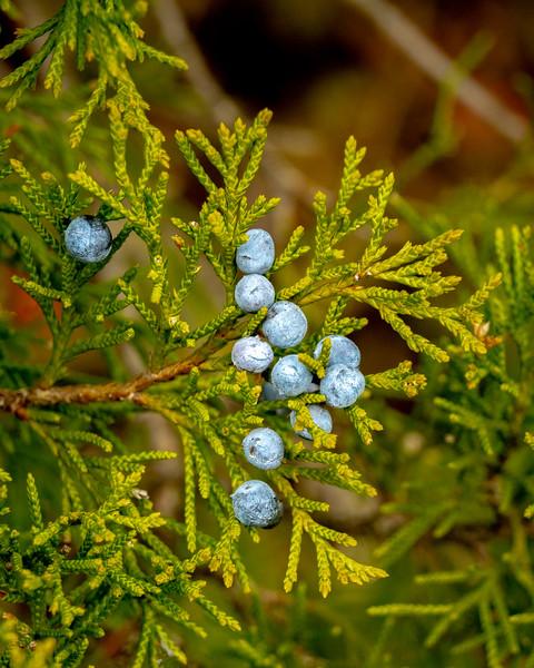 Berries Blue IMG_4055 32x40in 300dpi