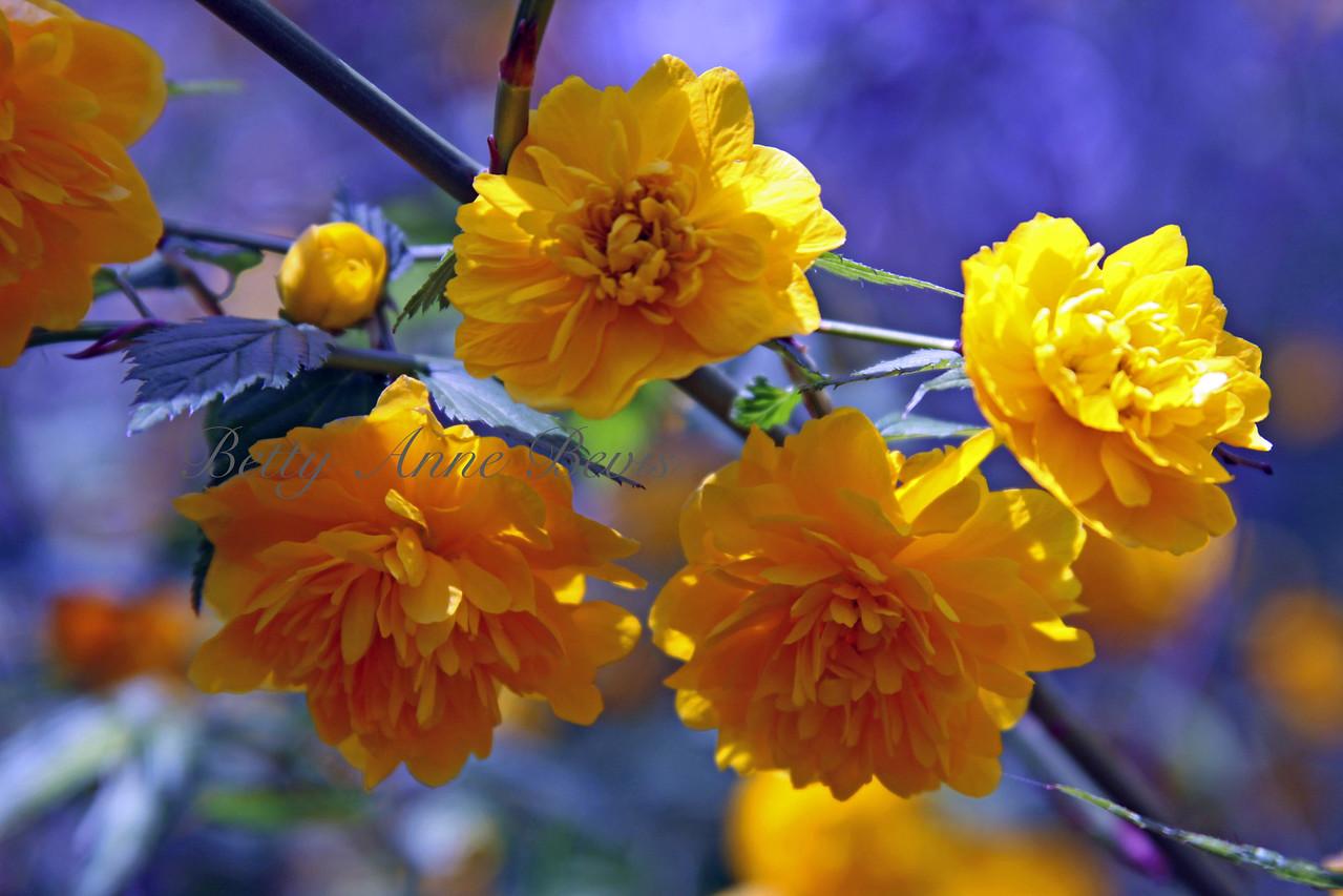 Japanese Rose or Kerria Rose