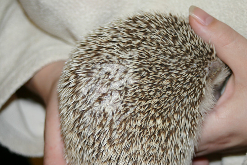 Quill Loss due to Mites  Filename reference: 20041105-025531-HAH-Quill_Loss_due_to_Mites