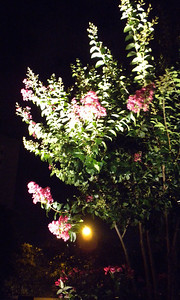 Crepe Myrtle in a Planter