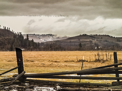 Late Winter Geese
