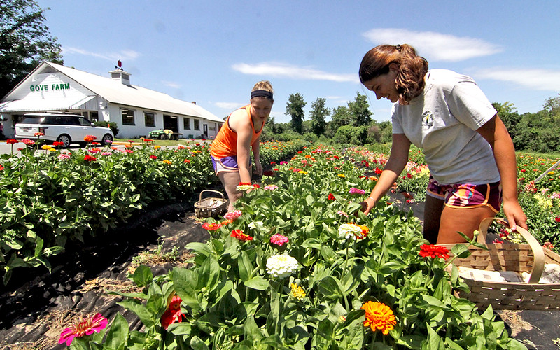 Gove Farm co-workers work the fields at the Leominster Farm, L-R, Nicole Chiumento 21 and Amanda Mills 20. SEN/David H. Brow