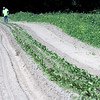 Farm workers weeding along rows of beets at Harper Farms in Lancester. SEN/David H. Brow