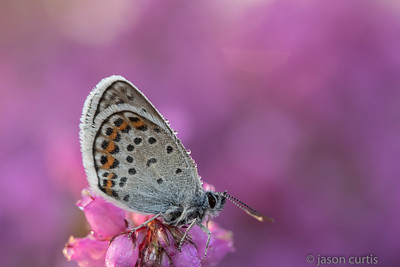 Sliver Studded Blue Butterfly