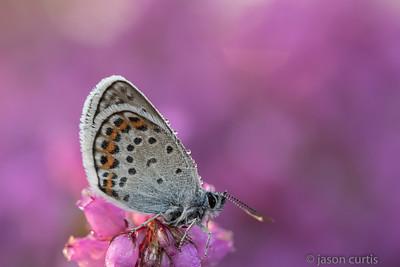 Sliver Studded Blue Butterfly