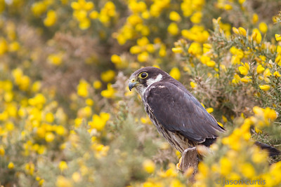 Hobby in Gorse