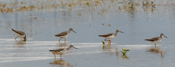 These Short-billed Dowitcher's were in unchartered waters for sure