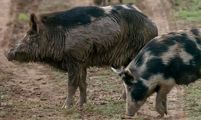 This mud-coated Boar ruled over appx. 30 other hogs at a feeder