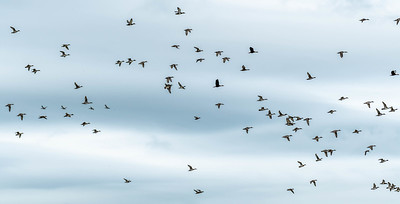 Hundreds of Pintail's circled multiple times surveying their new neighborhood