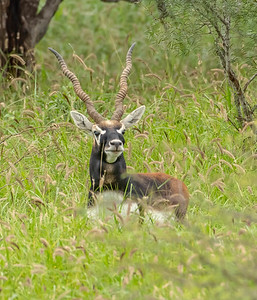 The Blackbuck male approached through 3-4' high grass
