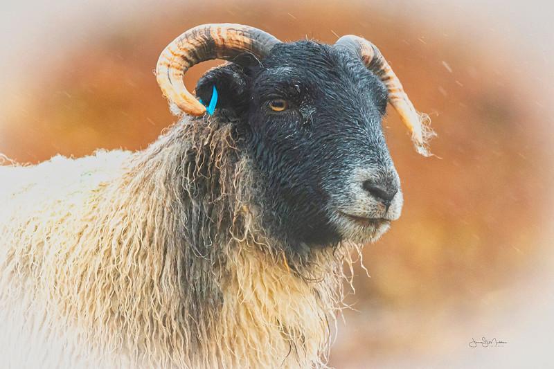 Tuft of wool