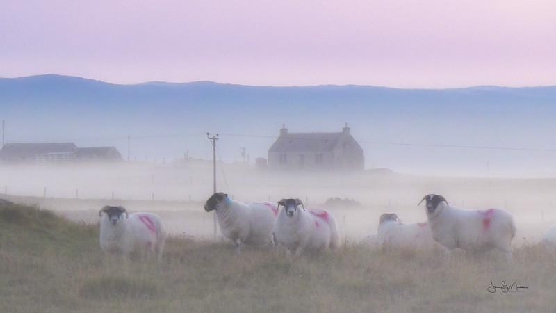 Sheep in mist
