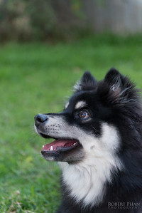 Heikki - Finnish Lapphund