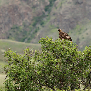 Hawk near Pittsburg Landing, ID