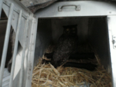 3 29  GREAT HORN OWL RESCUE