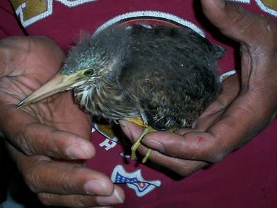 Blue Heron Rescues
