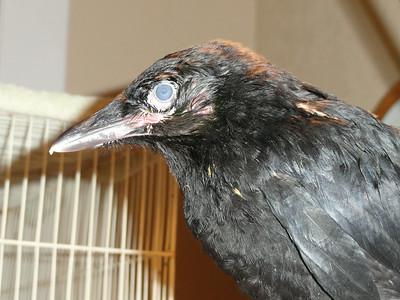 Blind Crows