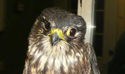 """Falcon Rescue  - """"American Kestrel """" Rescues"""