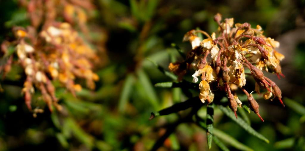 Dead Rhododendrons, Pohjois-Haaga, Finland