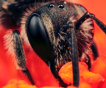 Portrait miner bee, made with magnification 6 and f/13 using a Canon 7D, a Canon MP-E 65mm/f2.8 and a 2x Canon Teleconverter. Andrena (Miner bee) is the largest genus in the family Andrenidae, and is nearly worldwide in distribution, with the notable exceptions of Oceania and South America. With over 1,300 species, it is one of the largest of all bee genera. Species are often brown to black with whitish abdominal hair bands, though other colors are possible, most commonly reddish, but also including metallic blue or green.  Body length commonly ranges between 8 - 17 mm with males smaller and more slender than females.