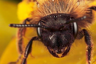 Portrait miner bee, made with magnification 4 and f/14 using a Canon 7D and a Canon MP-E 65mm/f2.8. Andrena (Miner bee) is the largest genus in the family Andrenidae, and is nearly worldwide in distribution, with the notable exceptions of Oceania and South America. With over 1,300 species, it is one of the largest of all bee genera. Species are often brown to black with whitish abdominal hair bands, though other colors are possible, most commonly reddish, but also including metallic blue or green.  Body length commonly ranges between 8 - 17 mm with males smaller and more slender than females (source Wikipedia).