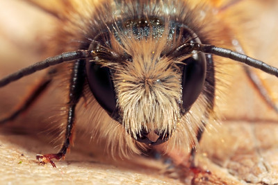 Frontal view mason bee, size around 10 mm, made with magnification factor 3 and f/14.