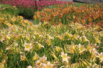 Hemerocallis 'Pink & Cream' Mass