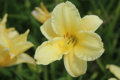 Hemerocallis 'Fragrant Returns'