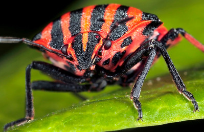Striped shield bug, size around 10-12 mm. The photo has been made with magnification factor 3 and f/16.