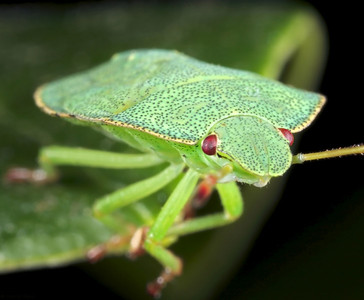 Green stinking bug, made with  magnification factor 2 and f/16.