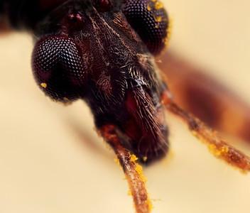 Common Damsel Bug